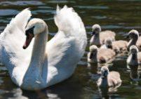 swan-2494925_1920